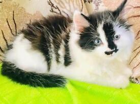 Long Haired Kitten