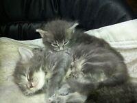 Two Beautiful Grey Kittens