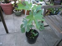 20 Garden Plants inc Fig With Fig On, Fucsia, Lillies, Montbrecia Weymouth Free Delivery