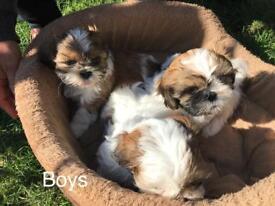 Shih tzu puppies (2 boys left)