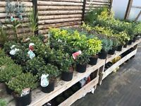 Evergreen shrubs and conifers in 2 and 3 Ltr pots