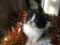 British Longhaired cross kittens looking for forever homes
