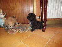 SMALL BREED Bichon Frise X Shih-tzu/Shihtzu Puppies (Zuchon or Shichon)