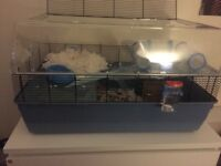 Syrian hamster for rehoming