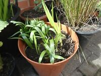 Spanish bluebells and crocosmia plants in a 26 cm plastic pot