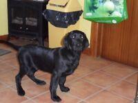 KC Reg Black Labrador Dog Pup for sale