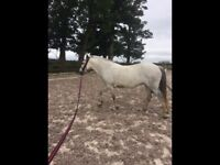 14.1h Pony for loan
