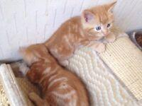 2 male ginger long haired kittens only £75.00 each