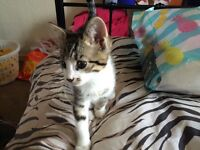Bengal cross kittens 4 left 3 male 1 female