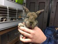 Lion lop rabbits for sale
