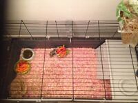 Two female Guinia pigs free to good home with cage