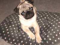 MALE PEDIGREE PUG PUPPY- 4 months