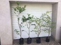 beech and oak trees