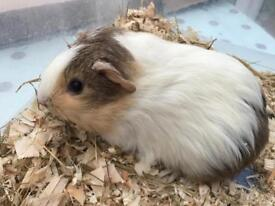 Handsome baby brother guinea pigs