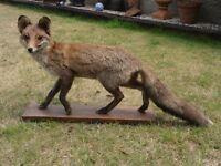 Fantastic quality French Stuffed Fox - Taxidermy
