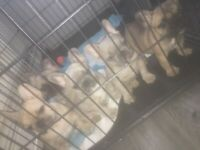 Stunning blue fawn french bulldog puppies