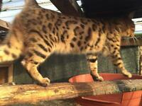 Bengal adult boy forsale