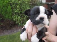 Fantastic little girl, great pedigree and temperament