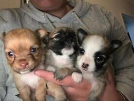 Adorable Chihuahua X puppies