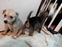 Puppies - last 2 girls