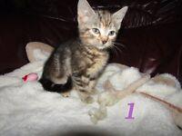 5 Beautiful Kittens (8 Weeks Old)