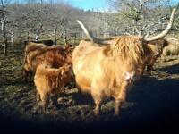 PURE HIGHLAND CATTLE WANTED