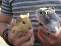 Baby Guinea Pigs very friendly