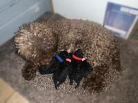 Tiny Phantom Toy Poodle Puppies Ready late January