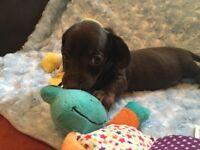 Miniature dachshund kc reg boys choc and tan