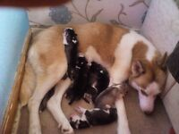 6 husky puppies for sale