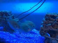 Three Red Belly Piranhas & Tank