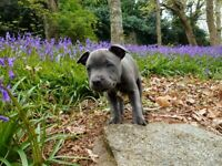 Blue 4 month old male staffy