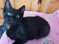 10 weeks old kitten for sale