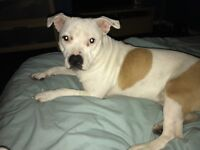 Staffie bitch called Nancy 12 months old reason for sale is she isn't getting on with my dog