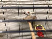 Singing zebra finches x3 including 1 pair £7 each