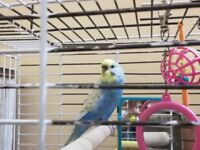 Blue & Yellow Australian female Budgie with Cage