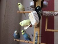 2 Budgies for sale – female and male