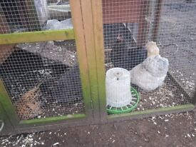 4 Small Chickens For Sale