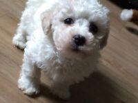 Bichon frise pup for sale