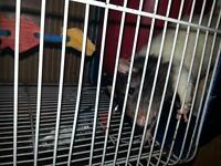 female rat with large cage