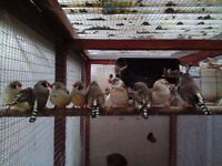 Zebra Finches, Bengalese, Diamond Doves