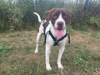 Springer Spanial cross with Beagle