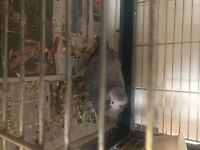 A 3 year old male African grey parrot for sale who is in need of a loving owner