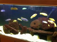 Mature adult cichlids - 3 tanks for sale as well.