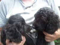 STUNNING SPROODLE PUPPIES JUST 2 GIRLS LEFT