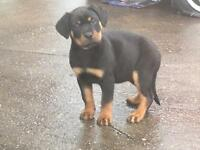 PURE ROTTWEILER FEMALE PUP READY TO GO **^£650***