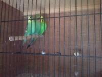 Three green budgies and double breeding cage