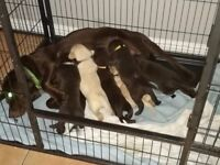 Labrador Puppies for Sale (Chocolate and Yellow)