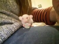 Beautiful friendly baby fancy rats