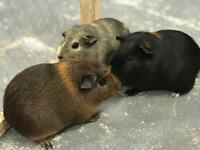 3 female Guinea Pigs, 2-storey Cage + lots of extras
